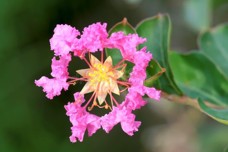 Flor del mirto de Crape imágenes de archivo libres de regalías