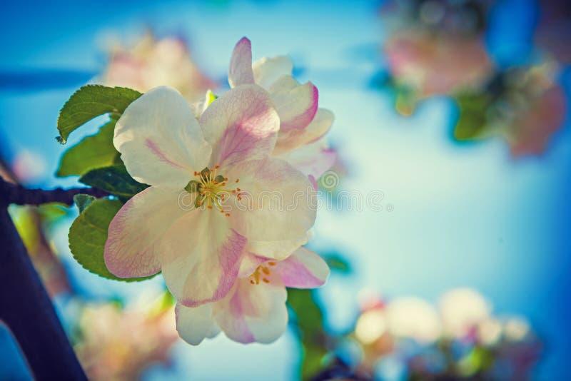 Flor del montante del instagram del flor del manzano fotografía de archivo libre de regalías