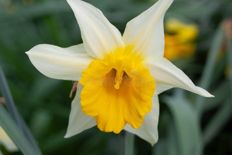 Flor del narciso blanca y amarilla imagenes de archivo