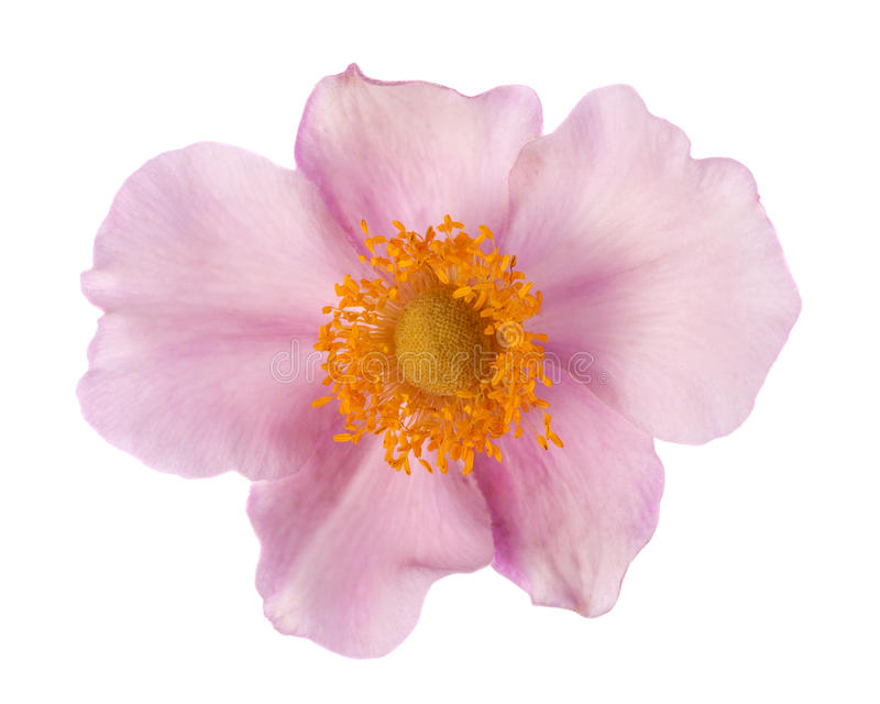 Flor del odoratus del Rubus foto de archivo libre de regalías