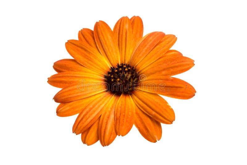 flor del osteospermum anaranjado hermoso o de la margarita africana aislada imagen de archivo