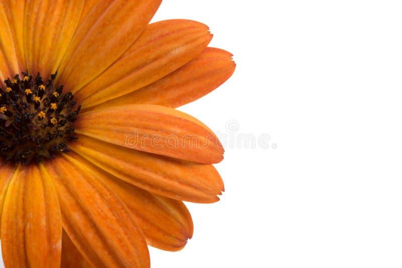 flor del osteospermum anaranjado hermoso o de la margarita africana aislada imagenes de archivo