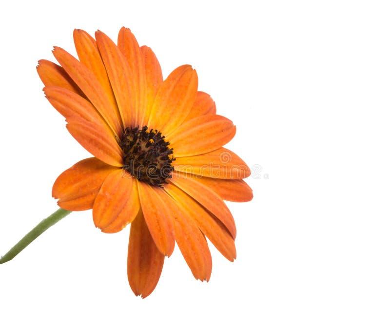 flor del osteospermum anaranjado hermoso o de la margarita africana aislada imagen de archivo libre de regalías