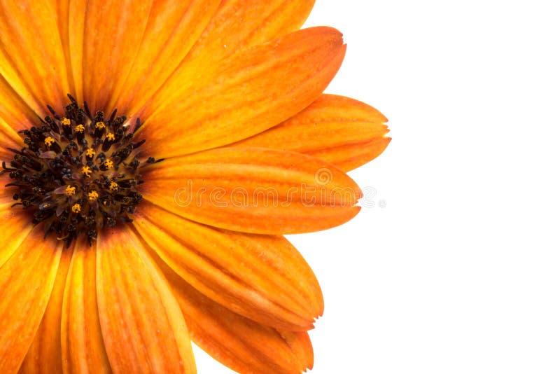 flor del osteospermum anaranjado hermoso o de la margarita africana aislada fotografía de archivo libre de regalías