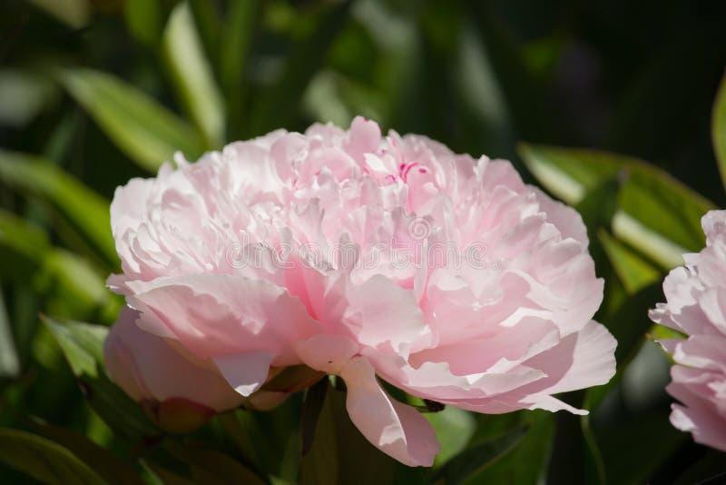 Flor del Paeonia fotografía de archivo
