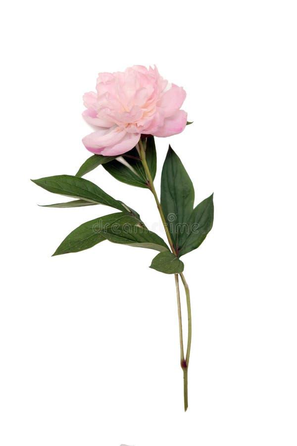 Flor del Peony fotos de archivo libres de regalías