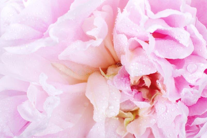 Flor del Peony fotos de archivo