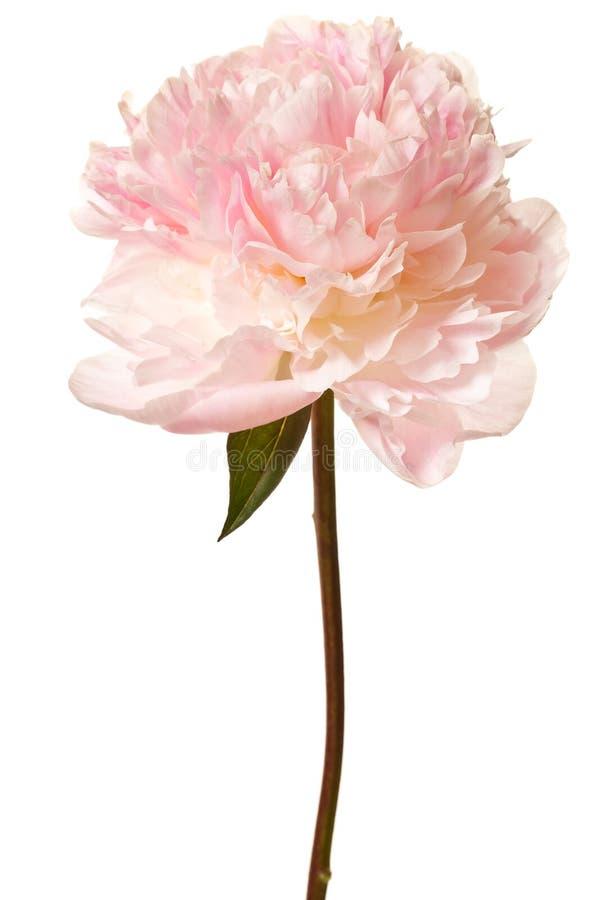 Flor del Peony aislado en un fondo blanco fotos de archivo
