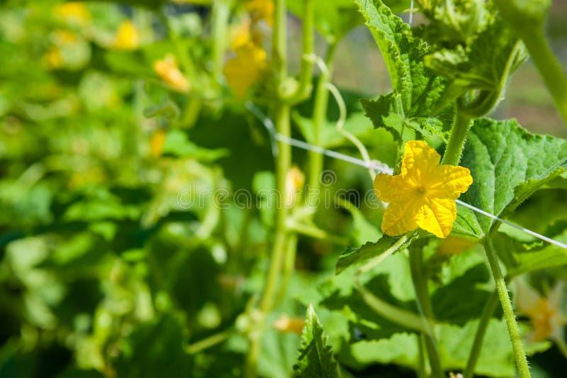 Flor del pepino en un enrejado del jardín con la profundidad del campo baja fotos de archivo libres de regalías