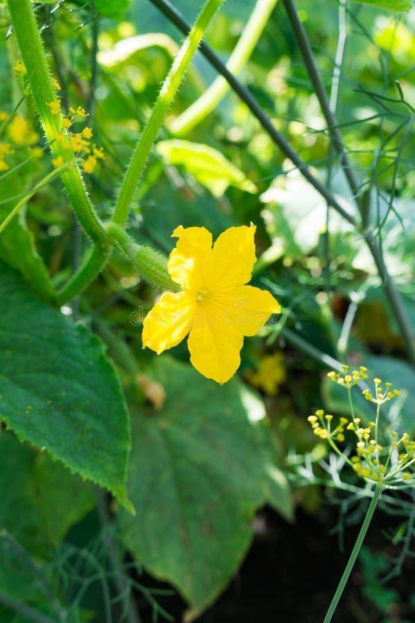 Flor del pepino Los pepinos crecen en el jard?n cosecha vegetal foto de archivo