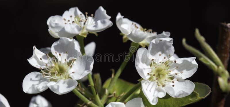 Flor del peral imágenes de archivo libres de regalías