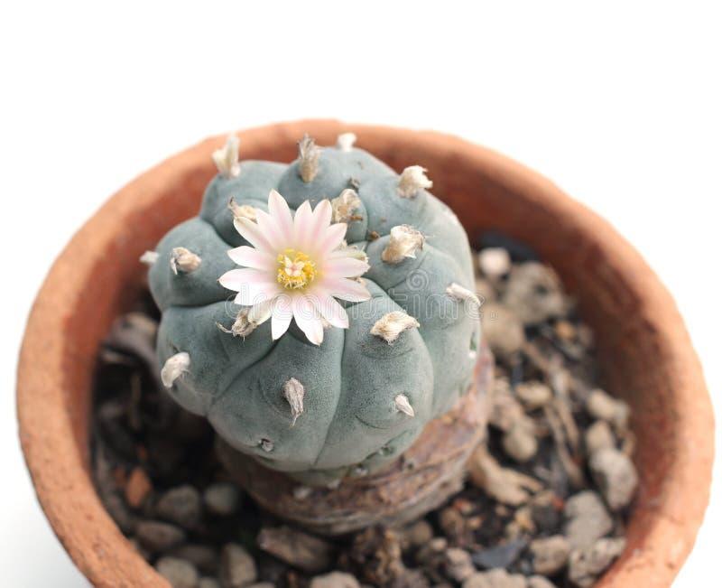 Flor del Peyote fotos de archivo libres de regalías