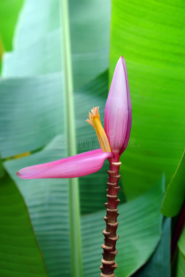 Flor del plátano foto de archivo