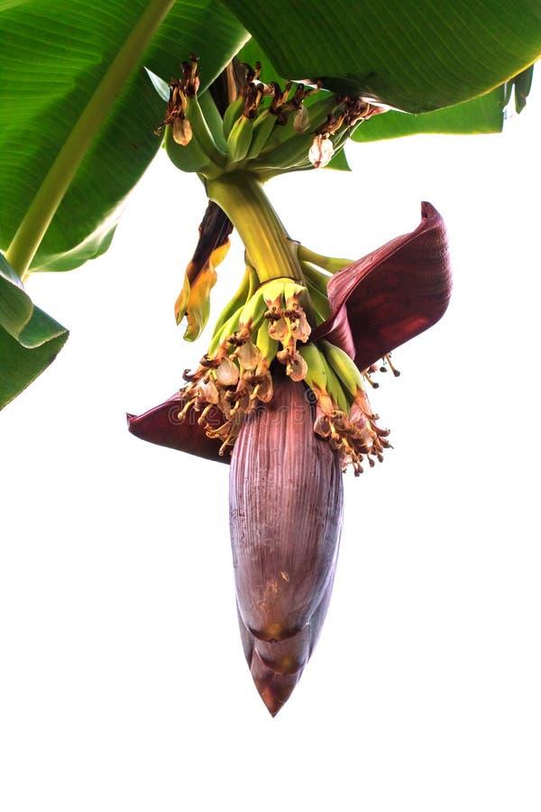 Flor del plátano de la inflorescencia del plátano con las hojas del plátano fotografía de archivo