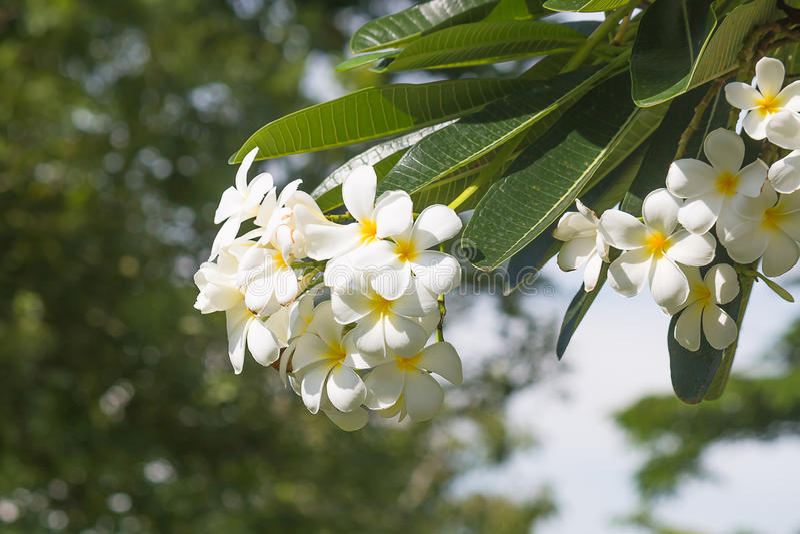 Flor del Plumeria foto de archivo libre de regalías