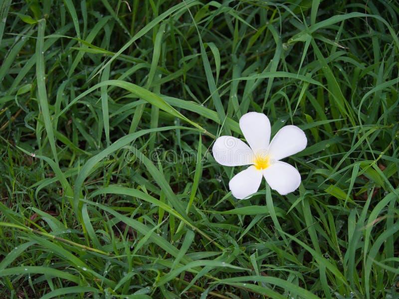 Flor del Plumeria en el césped fotografía de archivo libre de regalías