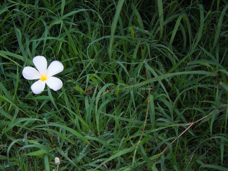 Flor del Plumeria en el césped foto de archivo libre de regalías