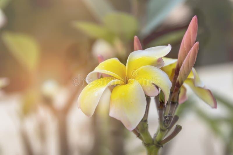 Flor del Plumeria en el jardín foto de archivo libre de regalías