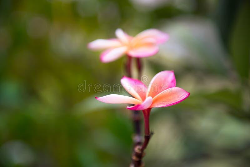 Flor del Plumeria en el jardín imagen de archivo libre de regalías