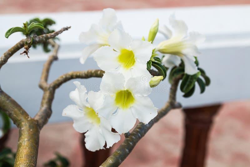 Flor del Plumeria en jardín foto de archivo