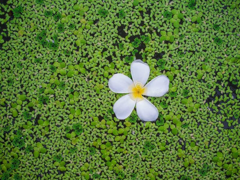 Flor del Plumeria en una charca llenada de la lenteja de agua fotos de archivo