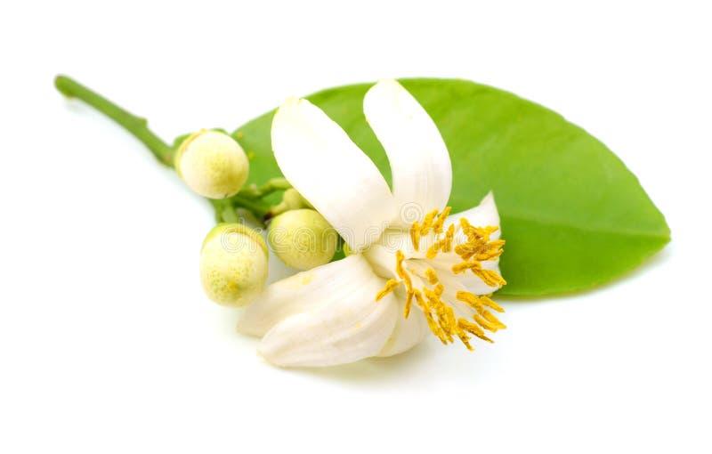 Flor del pomelo foto de archivo