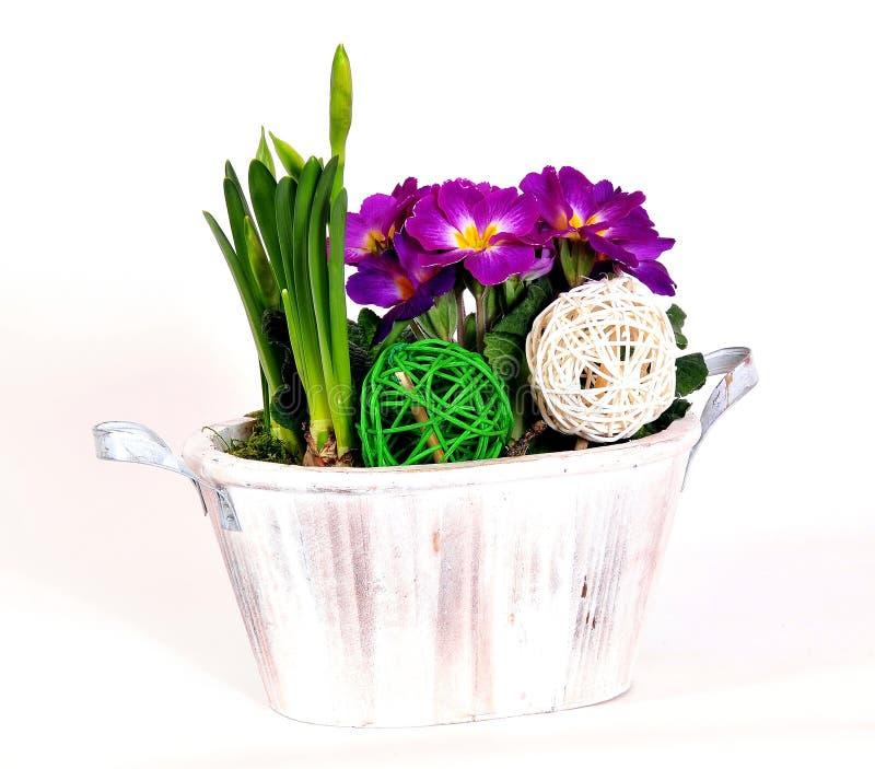 Flor del primula de la primavera fotos de archivo
