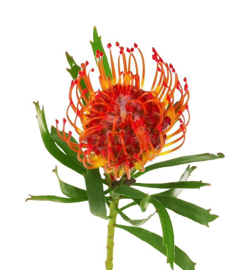 Flor del Protea de Leucospermum del africano imágenes de archivo libres de regalías