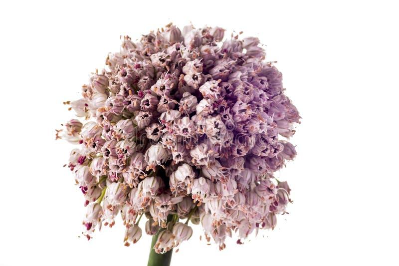 Flor del puerro foto de archivo
