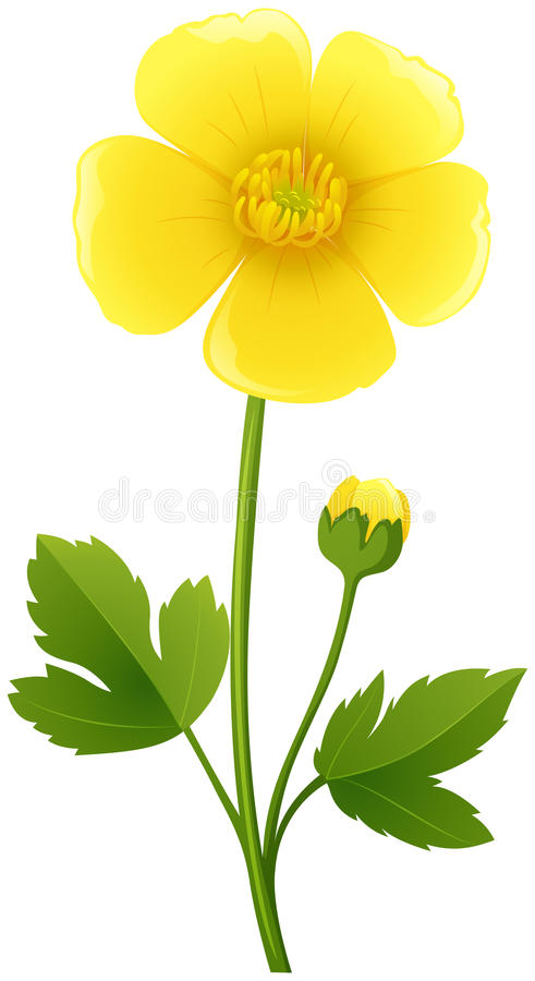 Flor del ranúnculo en color amarillo libre illustration
