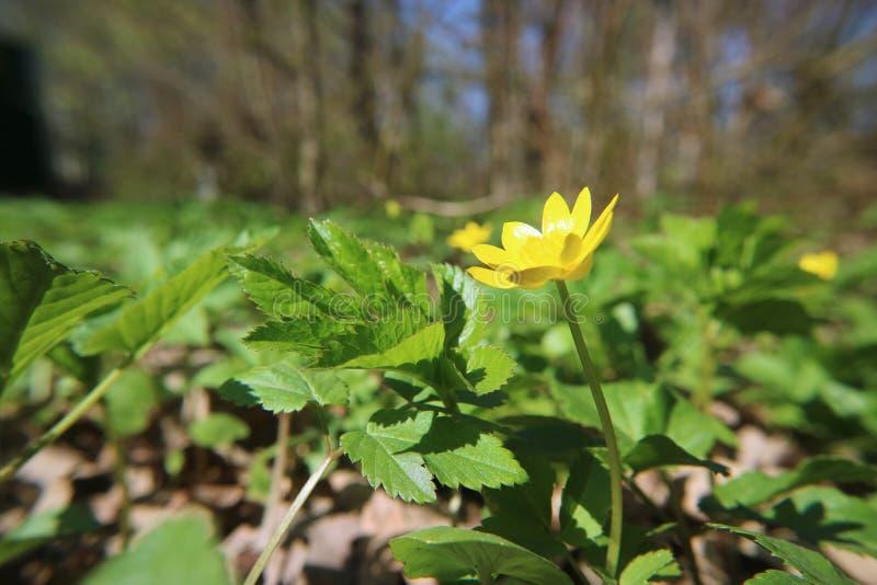 Flor del ranúnculo en el fondo de la hierba en la foto macra del bosque como el fondo imágenes de archivo libres de regalías
