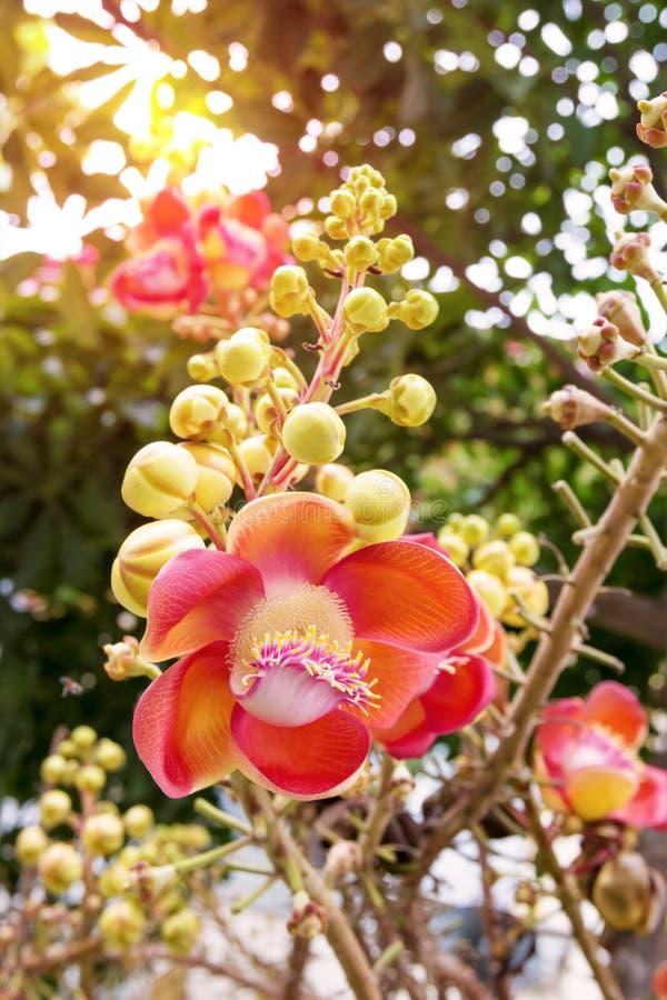 Flor del ?rbol de la bola de ca??n fotografía de archivo libre de regalías