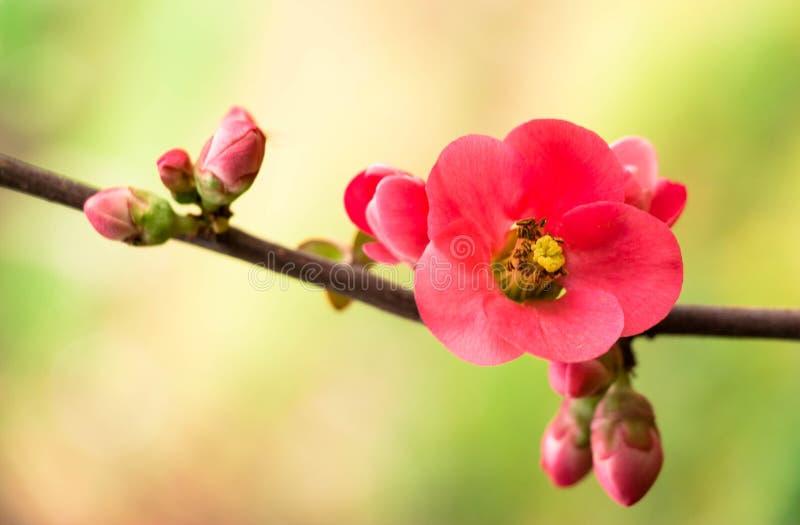 Flor del resorte Puntilla con las flores rosadas El principio del resorte imagenes de archivo