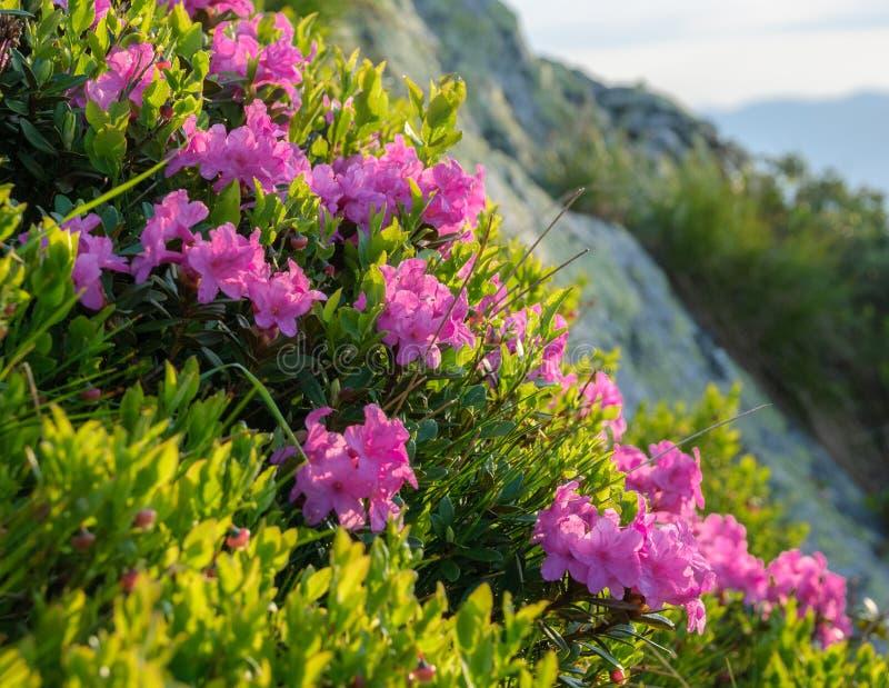 Flor del rododendro imágenes de archivo libres de regalías