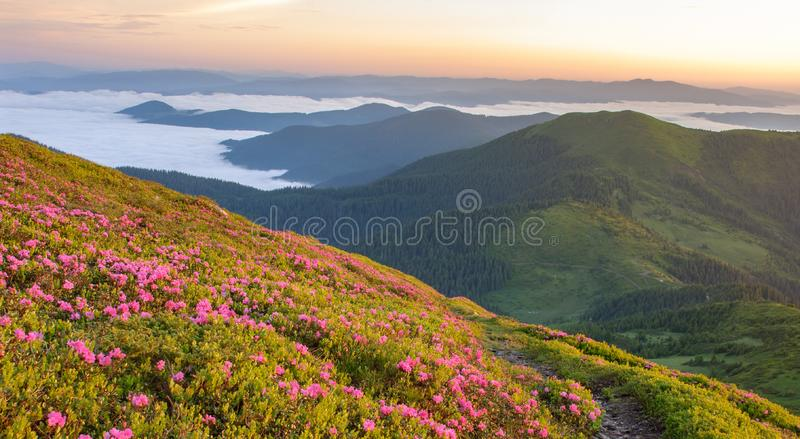 Flor del rododendro en ucraniano Cárpatos fotos de archivo libres de regalías