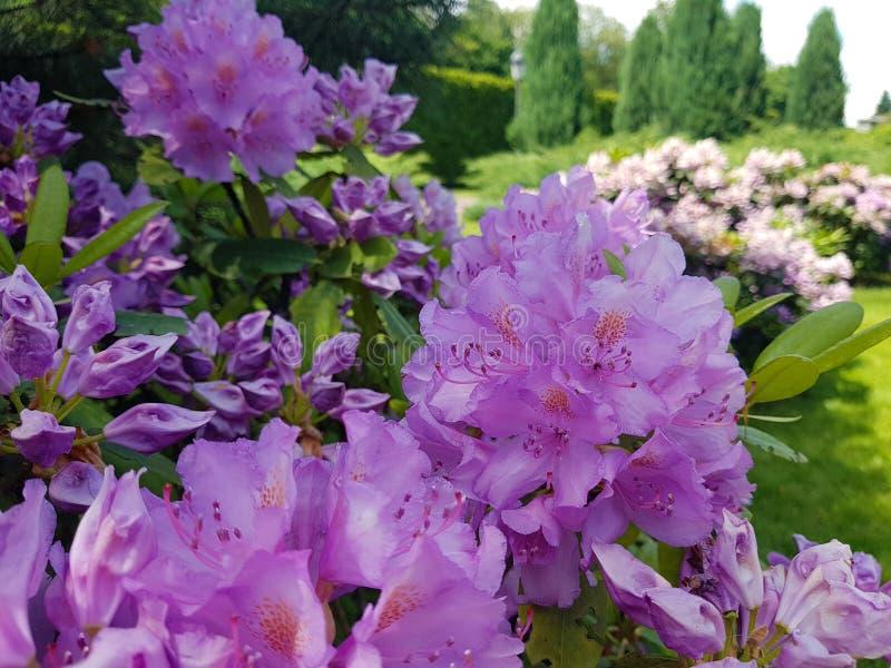 Flor del rododendro violeta del arbusto contra la perspectiva de camas y de árboles de flor en el jardín botánico imagen de archivo libre de regalías