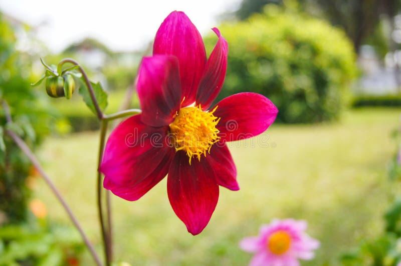 Flor del rojo del cosmos foto de archivo libre de regalías