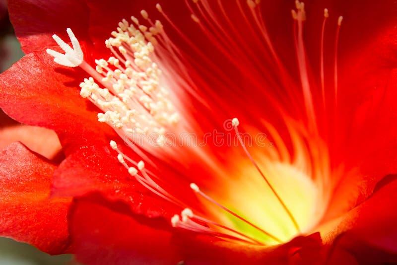 Flor del rojo de Epiphyllum imagen de archivo libre de regalías