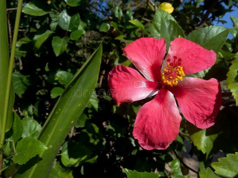 Flor del rojo del hibisco imagenes de archivo