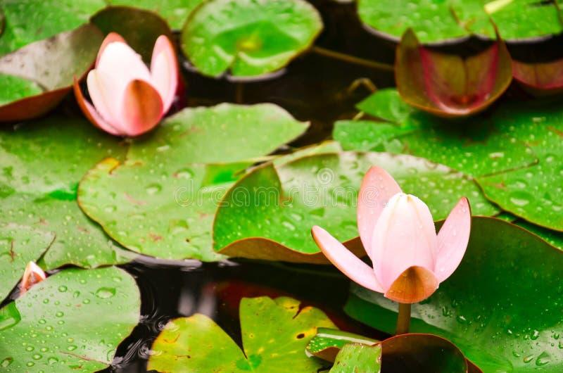 Flor del rosaea del Nymphaea foto de archivo libre de regalías