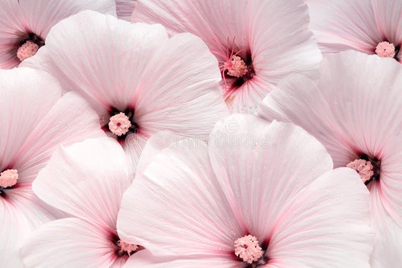 Flor del rosea de Althaea imagen de archivo