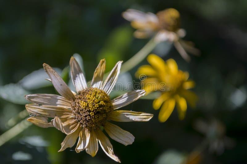 Flor del Rudbeckia Flor amarilla del jardín Todavía vida 1 Hierba seca Otoño fotografía de archivo