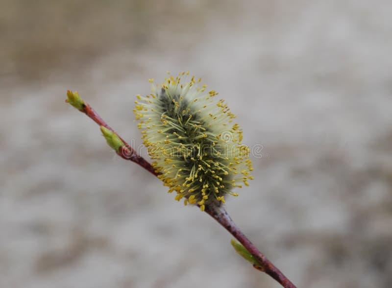 Flor del sauce, macro foto de archivo libre de regalías