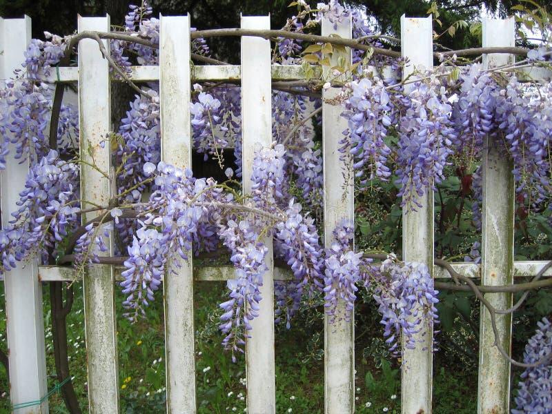 Flor del sinensis de la glicinia en una cerca imagenes de archivo