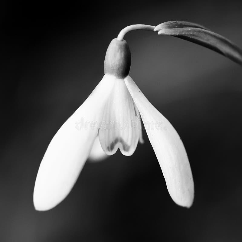 Flor del snowdrop de la primavera fotos de archivo
