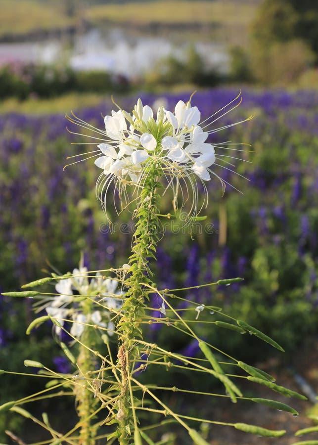 Flor del spinosa del Cleome o flor de araña, flor blanca imagenes de archivo