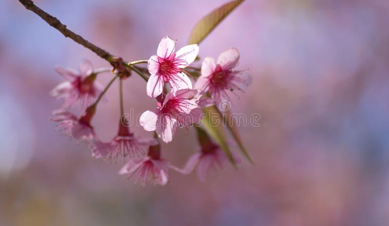 Flor del Sweety imagen de archivo libre de regalías