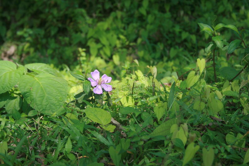 Flor del té foto de archivo libre de regalías