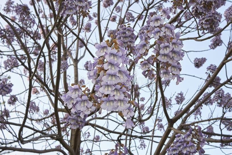 Flor del tomentosa del Paulownia imagen de archivo libre de regalías