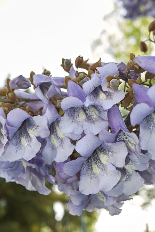 Flor del tomentosa del Paulownia foto de archivo
